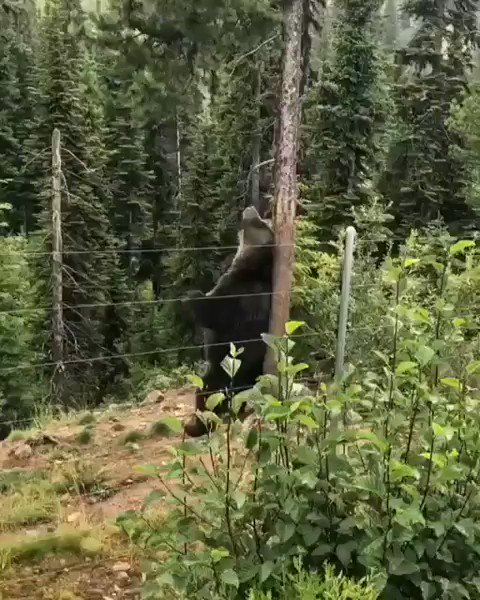 🎵 I'm sexy and I know it 🎵 Boo, the Bear Grizzly Bear Refuge—Golden, BC🇨🇦 📹 danielley86