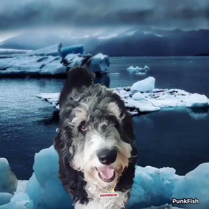 Think cool 💭 #Bernedoodle #texasdogs #thinkcoolthoughts #sanantonio #articice #DogsofTwittter #photoshop #sananto #heatwave2019