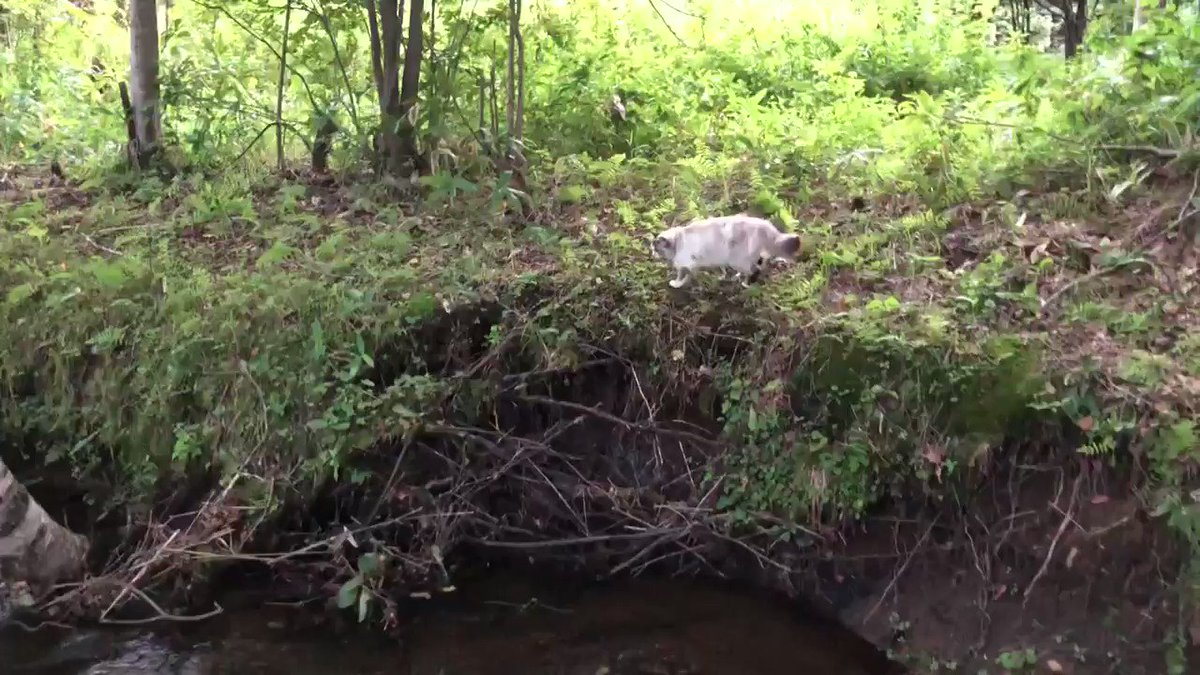 私が小川を飛び越えると一生懸命追いかけて来る猫(かわいい)