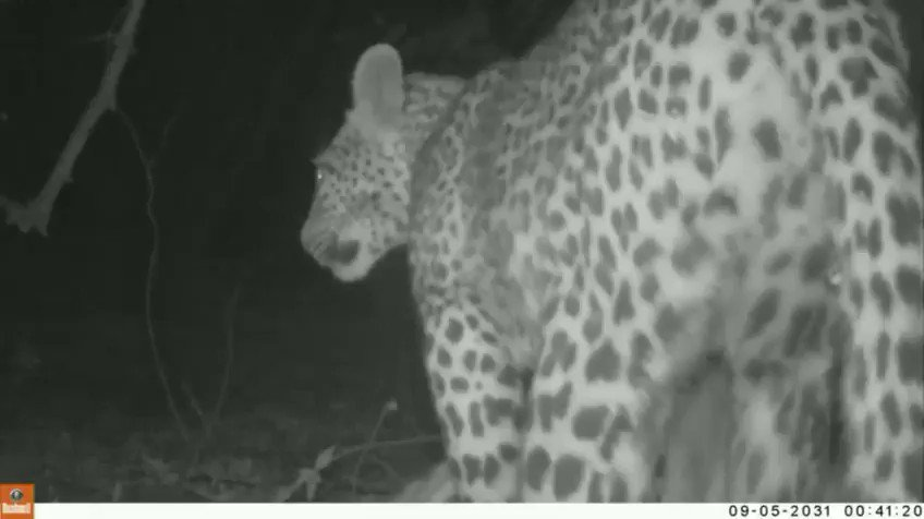 WATCH: Leopard loses its kill as a hippo takes over. Use of 🎥 clip courtesy of Flatdogs Camp © 🐆 Although there are several documented sightings of hippos eating meat, it is rare to see this behavior #Zambia @flatdogscamp Always expect the unexpected out in the #African bush.