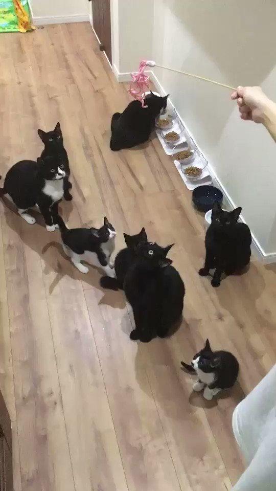 子猫たちの我先に!!な反応と大人猫たちとのギャップが絶妙です😂レモンちゃんがさくちゃんにペシッてされて倒されるところがツボりました(笑)