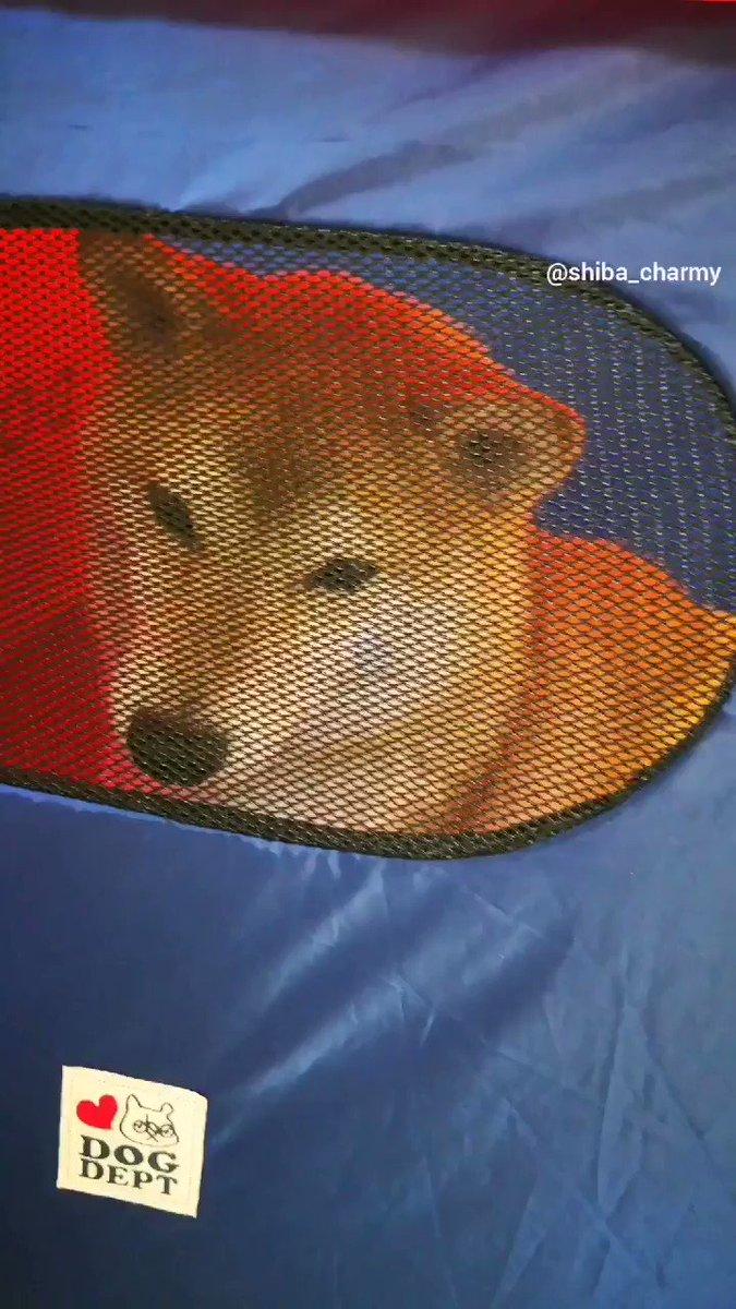 チャーミー😱😂 顔~‼😂😱#柴犬 #shiba