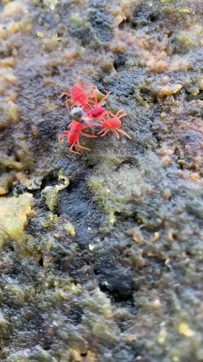 However badly your day is going just remember that you aren't this mosquito having the life sucked out of it on an Icelandic beach by hungry red spider mites!! #nature #FridayMotivation @BBCEarth @WildlifeMag @BAS_News