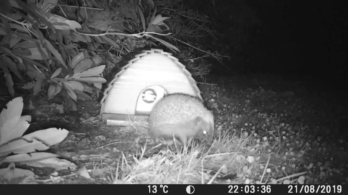 And we have videos! #hedgehocam