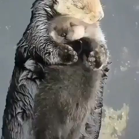 Replying to @QasimRashid: Take a break and de-stress by watching this otter cuddle it's baby❤️😊