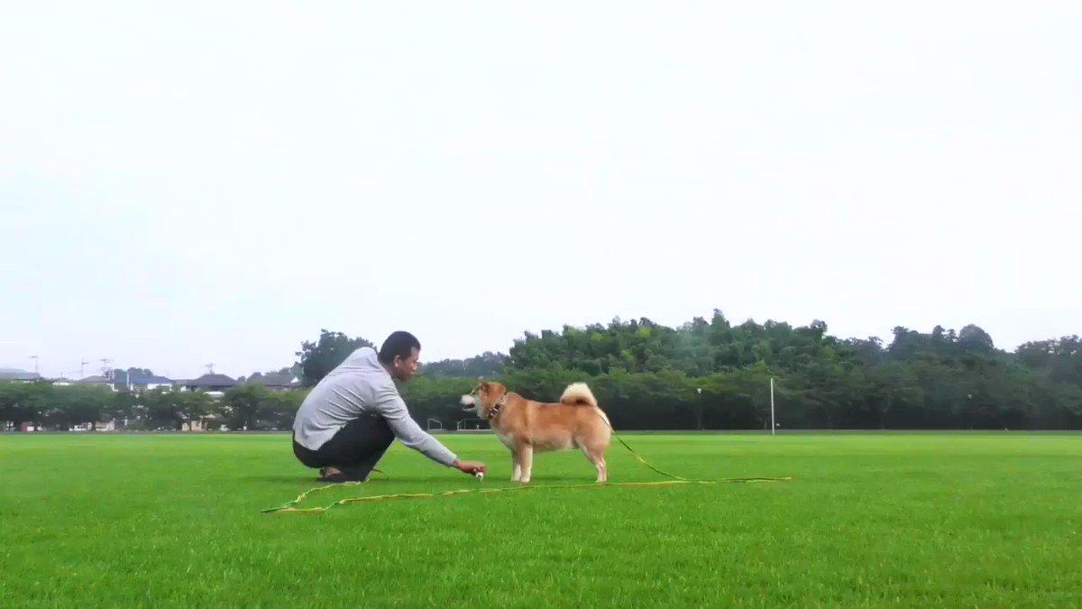 柴犬と遊ぶとこんな感じ
