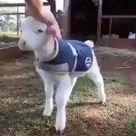 【めっちゃよろこんでる】羊の赤ちゃんの動きが子犬そっくり