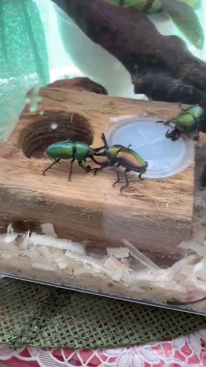 Image for the Tweet beginning: Stag beetle fight  #bugs