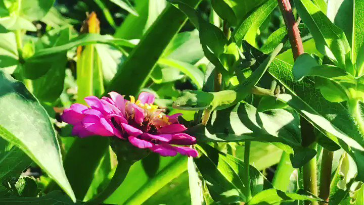 #Anole (#predator)  #lurking for #flying #insects and/or #butterflies (#pray) approaching #wild #flowers of #perfect #home #grown #ecosystem - ÁGORA ist #LindauFürImmer (#LindauParaSiempre)