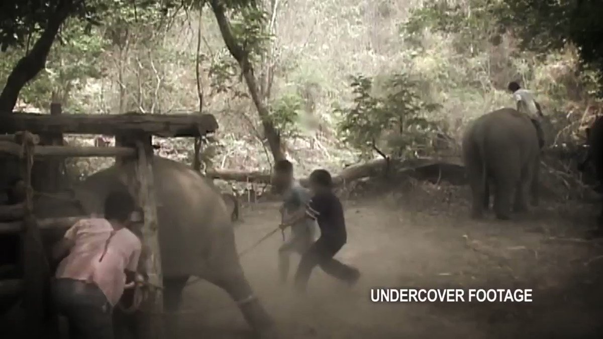 The ghosts of a thousand torments haunt every unnatural act a wild #animal performs. Theyre beaten into submission🐘💔 All trained by torture🤬 Paid for by #tourists🤯 @stae_elephants @Protect_Wldlife @BellaLack @RobRobbEdwards @Animal_Watch @PeterEgan6 #NationalWildlifeDay🐬