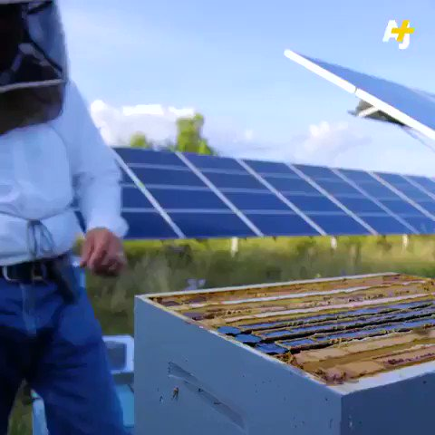 Beeeeutiful!!! Happy #WorldBeeDay. This #solar farm is a bee paradise and produces electricity. We have solutions to the #climate crisis, lets get buzzy and implement them. #ActOnClimate #climate #energy #CleanEnergy #Renewables #go100re #GreenNewDeal @AOC @gretathunberg