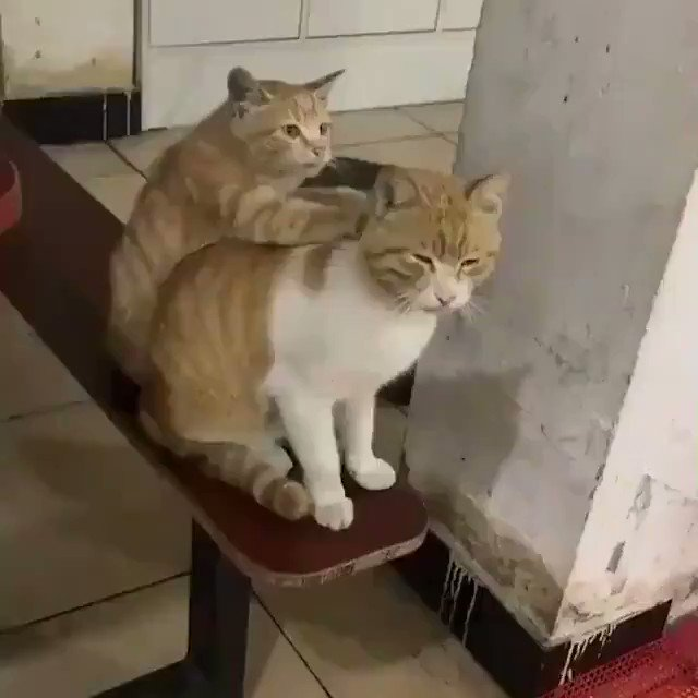 可愛い猫ちゃんのにゃんこマッサージ