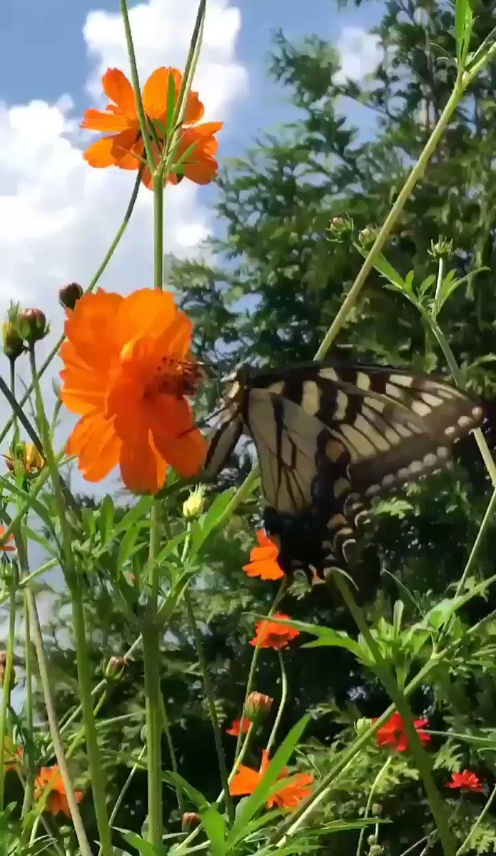 Good morning lovely friends🌄🌻🌾🌴🌸Have a beautiful and wonderful #SundayMorning☕❤💐 May your Sunday be blessed with love, joy, peace and happiness!! #Flowers #Butterfly #Garden #Nature #FlowersGarden #Birds #SundayThoughts Butterfly enjoying morning sunshine🌄🌺🦋🦋🦋