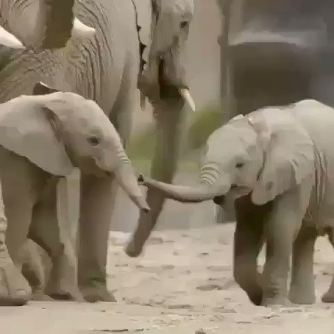Have a relaxing & peaceful #Sunday 😃🌺🎶🌸 This is soooo cute seeing the baby elephant playing🌴🍃 🐘🌴🐘🍀🐘🌳 Baby elephants are so cute!! #Elephants #Babyelephants #Animals #wildlife #nature #naturephotography #animallovers #Sundayfunday #SundayThoughts