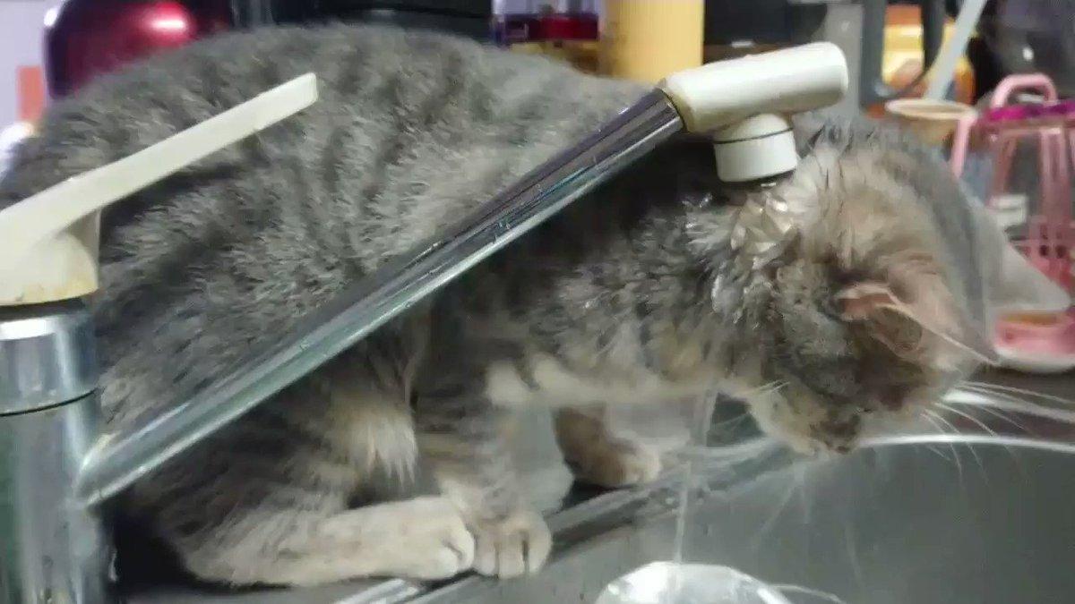 うちの猫、ちょっと水飲むの苦手なんですよね・・・#猫