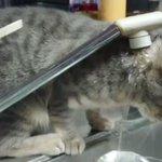 水を上手く飲めない猫ちゃん・でも、可愛いからずっとみてしまう!