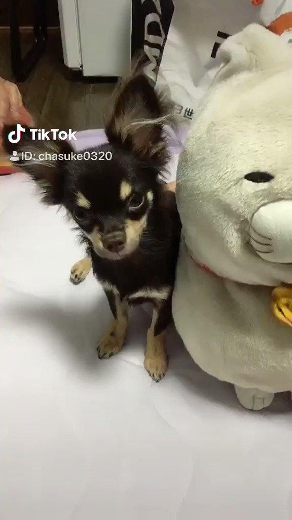 最近始めたTikTok♫お気に入りのやつ😁#TikTok #犬好き #チワワ #チョコレート #癒し #わんこ #犬 #チワワなしでは生きていけない