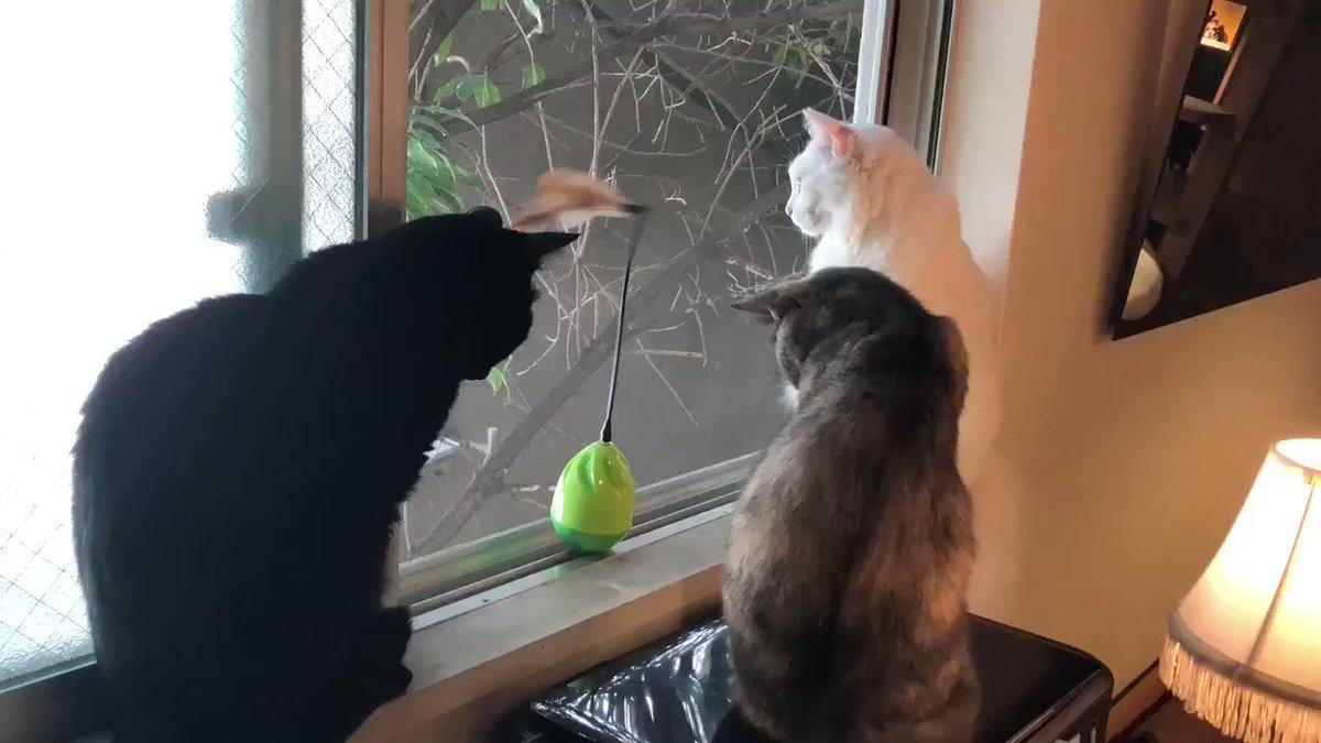 これ以上ないくらいオモチャに興味を示さない猫たち  @Calaugh_asakusaさんから