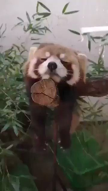 お昼寝をする可愛いレッサーパンダちゃん
