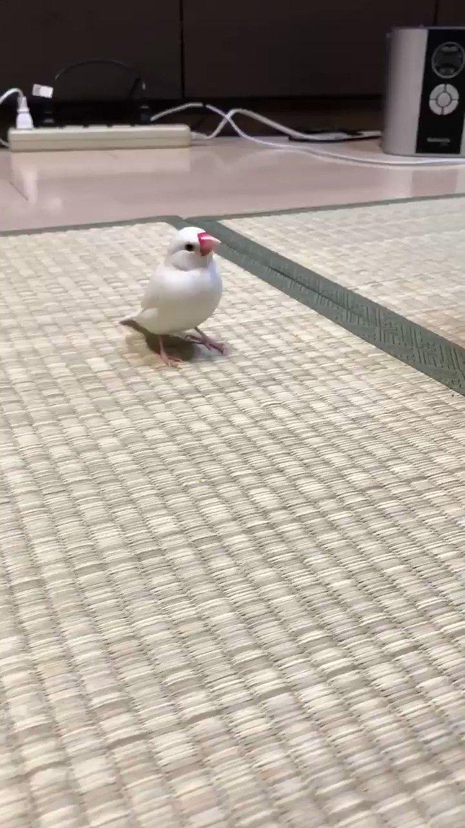 我が家でたまらなく可愛いと評判の「畳を歩く文鳥」の足音です。必死に近寄ってくる姿に、飼主悶絶です😍音量大きめでお楽しみください😊