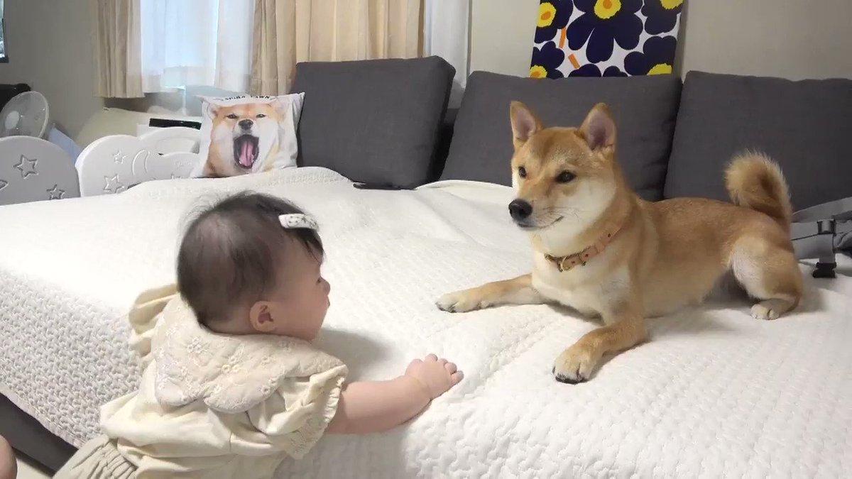 柴犬さんに触れようとつかまり立ちを頑張る娘