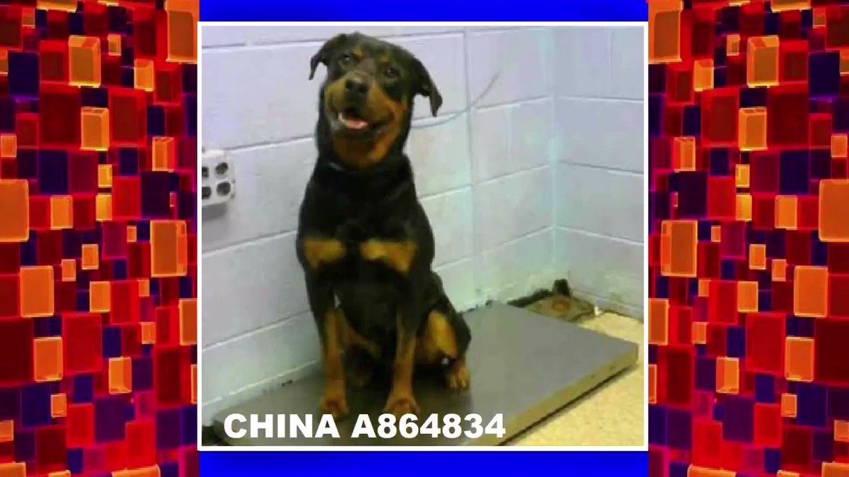 CRITICAL NOW⚠️🆘FULTON COUNTY ANIMAL SERVICES #GEORGIA🆘COULD BE KILLED TODAY, I MIGHT NOT SEE TOMORROW💥PLS SHARE TILL SAFE! #ADOPT #FOSTER #RESCUE #PLEDGE CHINA #A864834 (F) Sweet Rottie. 860 Marietta Blvd Atlanta,GA 30318 Phone Number: (404) 613-0358 facebook.com/photo.php?fbid…