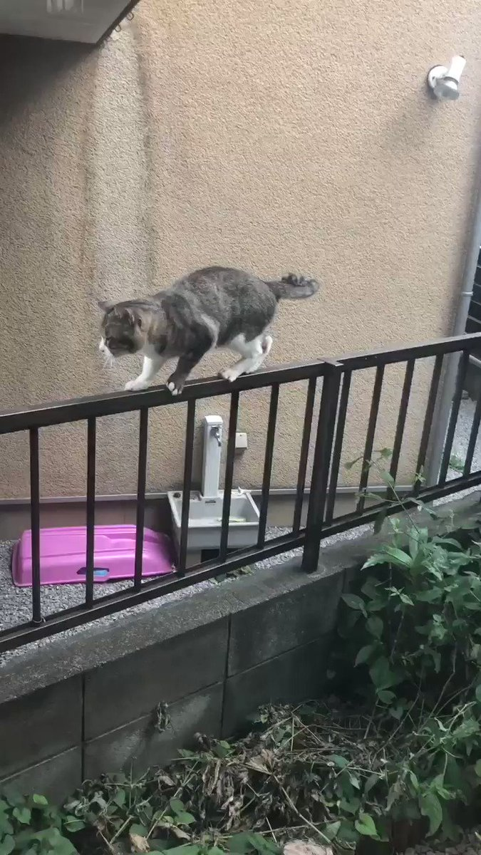 柵の上でプルプルしてる猫がいて、やっとの思いで着地できたと思ったらうちの猫達がそれを見てあからさまにヒソヒソ話しててなんだか気の毒だった。おいやめて差し上げろ。