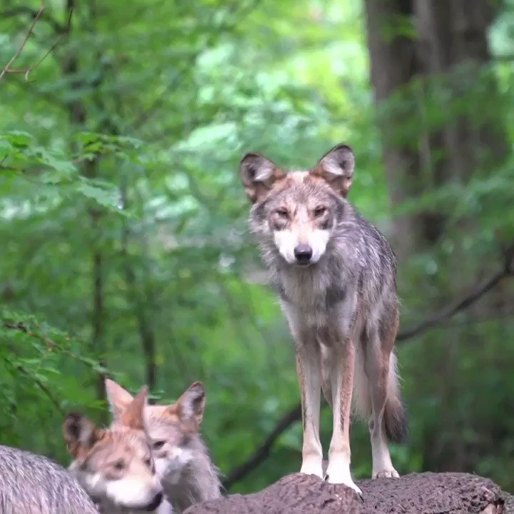 Wolves are graceful. Wolves work together. Be like a wolf 🐺#TuesdayTip
