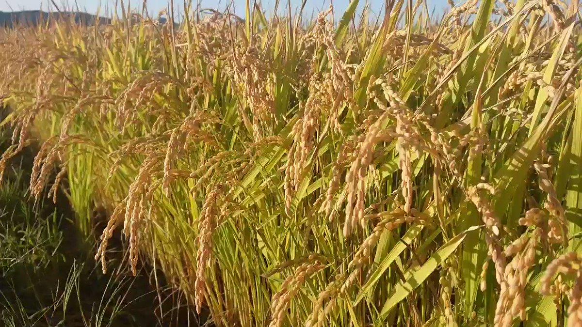 「ゆめぴりか」を開発しました上川農業試験場にて、昨年に引き続き勉強させていただきました。明治28年に比布町へ入植された方々が食べていたであろう「赤毛」という品種が今でも引継がれています。安全で安定した食料生産のため、毎日地道な研究が続けられております。#比布町 #ぴっぷ #農業 #米