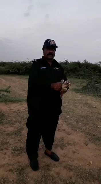 trapping is most dangerous. This time wildlife inspectors Atif & Azeem of Sindh Wildlife Deptt can be seen dismantling a falcon trapping net & on spot release of birds. Well done.
