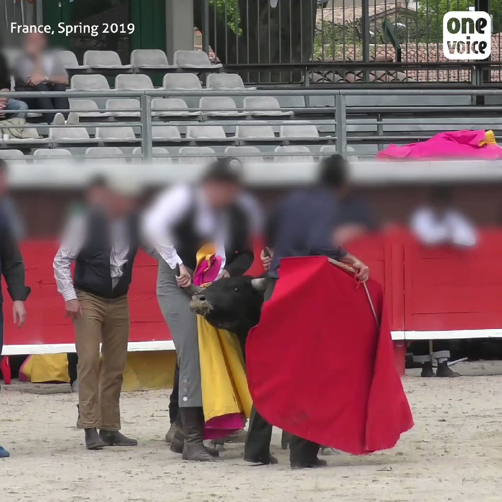 """This shocking video shows a bull slowly being killed in front of cheering children as young as 6 at a French bullfighting school. Animal rights group @OneVoiceAnimal infiltrated the school as part of the group's push to ban the centres they say give an """"education of sadism."""""""