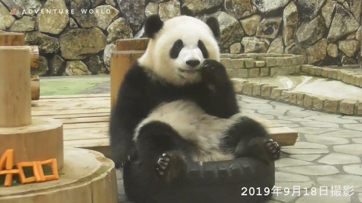 1歳のパンダ「彩浜(さいひん)」は本日で生まれて400日齢を迎えました!400日の記念に…タイヤにちょこんと座ってハイポーズ!大好きなおやつもたっぷり食べて大満足の様子です♪ 400日齢(9月18日)の体重:30.70kg (出生時:75g) #アドベンチャーワールド #ハッピーパンダシーズン