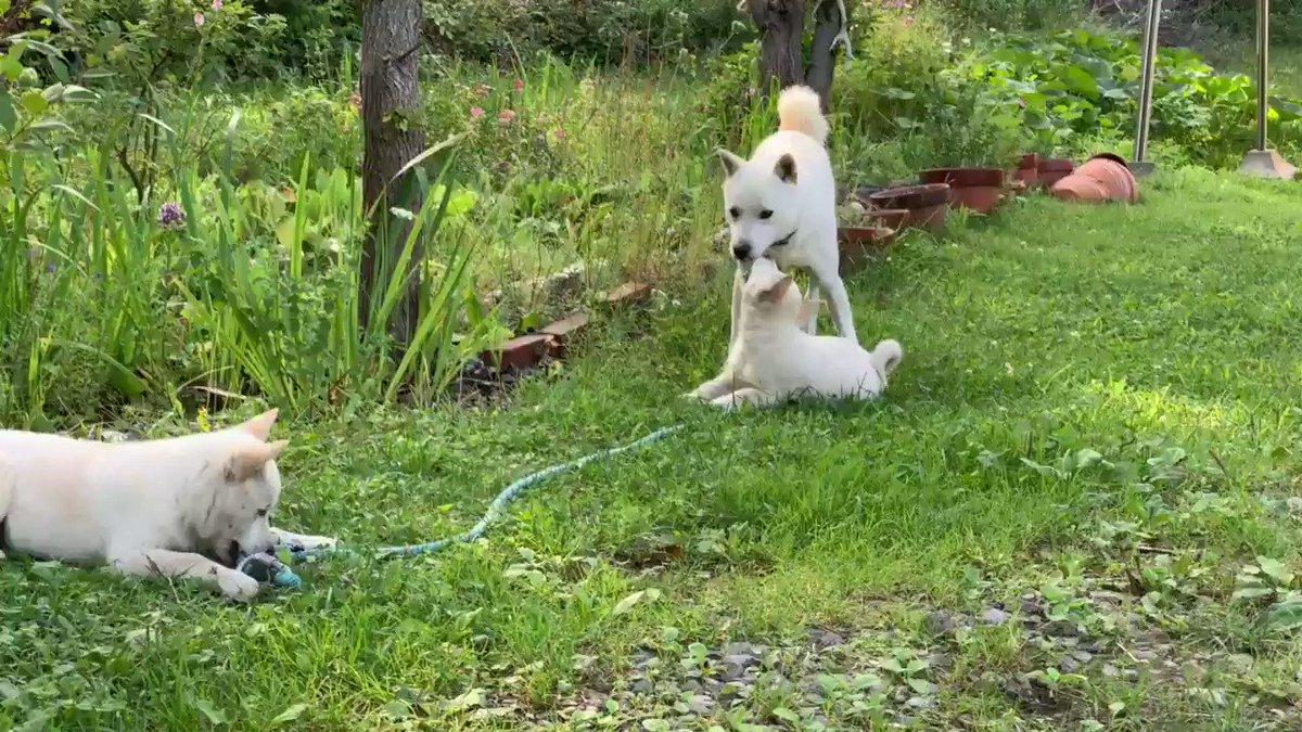 ウパシは元気です。母犬が子犬を生み、ウパシは新しい生命に戸惑いながらも、やさしい兄ちゃんになりました。きょうだいたちは、飼い主となる方々との新しい生活に旅立っていきました