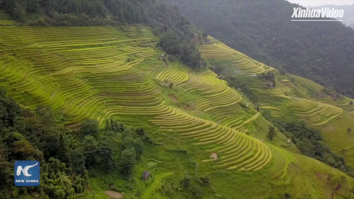 Featuring terraced fields, Rongjiang County in SW China's Guizhou sees rice harvest