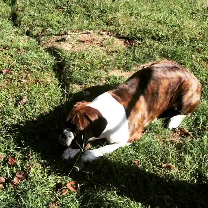 I've got him in my sight... Later! #hunter #ontheprowl #bella #boxer #boxerpuppy #boxerdog #boxerlife #dogslife #TuesdayMorning