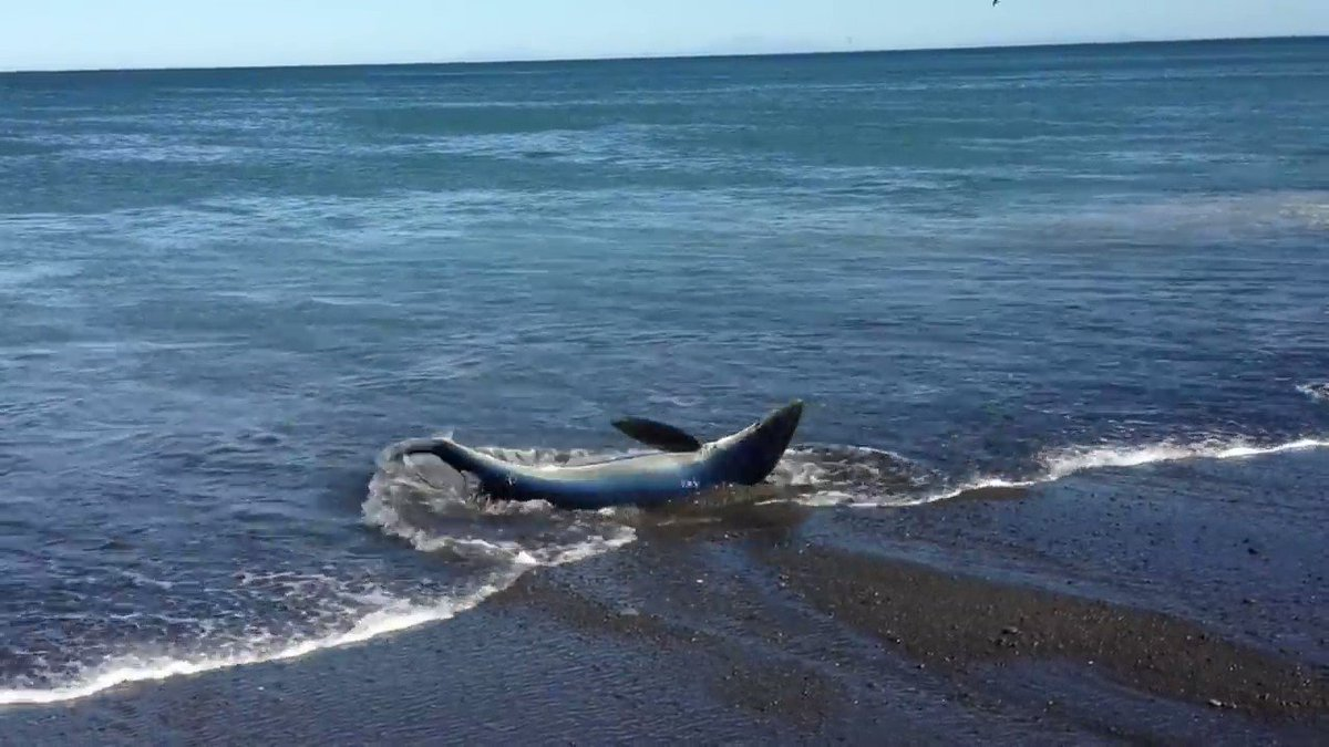 Blue-shark was stranded after chasing fish👏👏👏