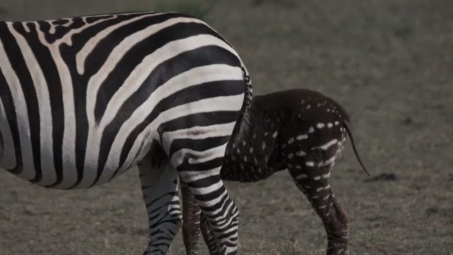 VIDEO: A polka-dot zebra foal is spotted in Kenya's Maasai Mara National reserve.The unique dot pattern could increase the foal's vulnerability. Zebra stripes provide camouflage from colour-blind predators - the lines blur with movement and individuals don't stand out in groups