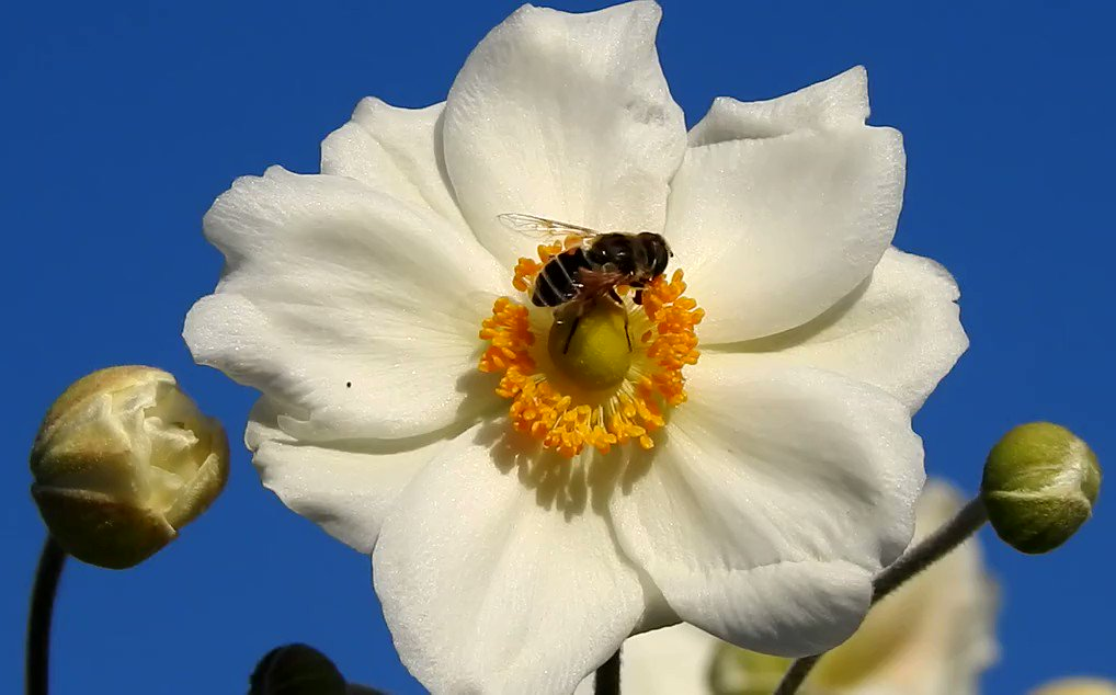 .#Bienenland @Schweiz #TagderHonigbiene #Sommer 🐝 #Honey #Bee @ #work Bee-friendly #flowers #SaveTheBees #WorldBeeDay @foe_us @EarlhamInst #honeymonth #gardening #honeycomb #Insect #nature @ForeverGlobalHQ @NatGeoPhotos @InsectRespect #HoneyMoon @NewInZurich @PETADeutschland