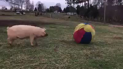 Vegan because pigs love to play, just like dogs! 💚🐷