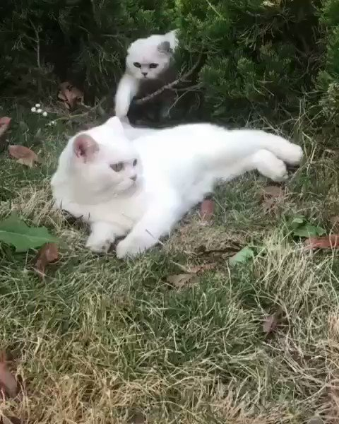 🎈😽🎈😻🎈😸🎈😽🎈😻 White kittens love 💗 affair ... it's fluffy ... it's close ... it fascinates; it hurts ... it yells ... it sometimes rejects ... but can it ever be false ... ? 😻 🐈🐾🐾🐾🐾