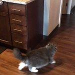 猫のジャンプ力が驚異的なことを知っていますか?こちらの動画をご覧ください!