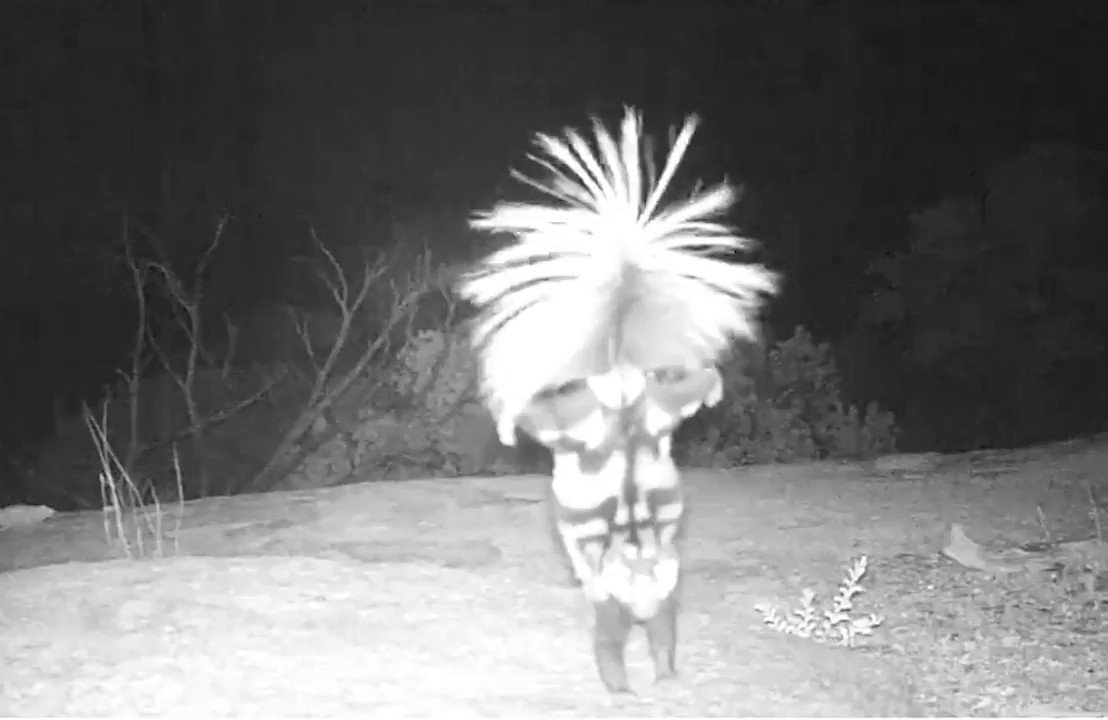 Dance like no one is watching.... Did you know spotted skunks will sometimes go into a handstand and move around in an attempt to intimidate any would be aggressors... like this wildlife camera at @SaguaroNPS? #FridayFeeling #FindYourPark 📽️: Skunk dancing the night away. 💃🕺