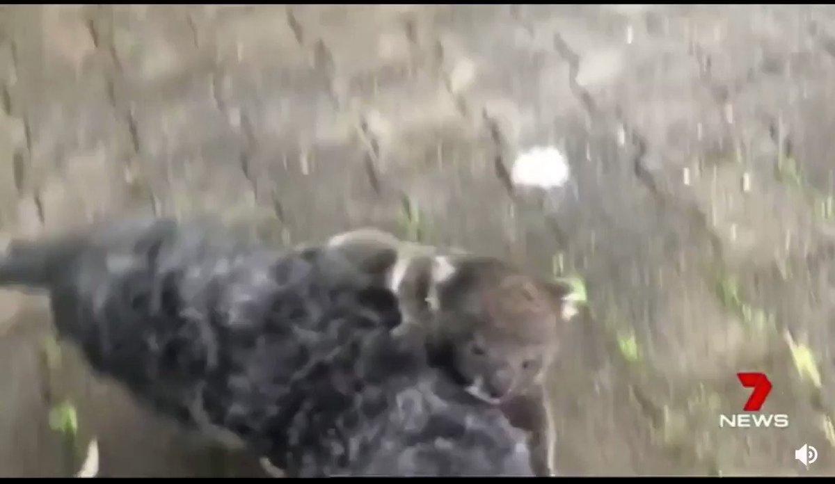 犬をトイレに連れ出したら、母親と勘違いしたコアラの赤ちゃんがついてきたというニュース。こういう朗らかな話題もっと必要。