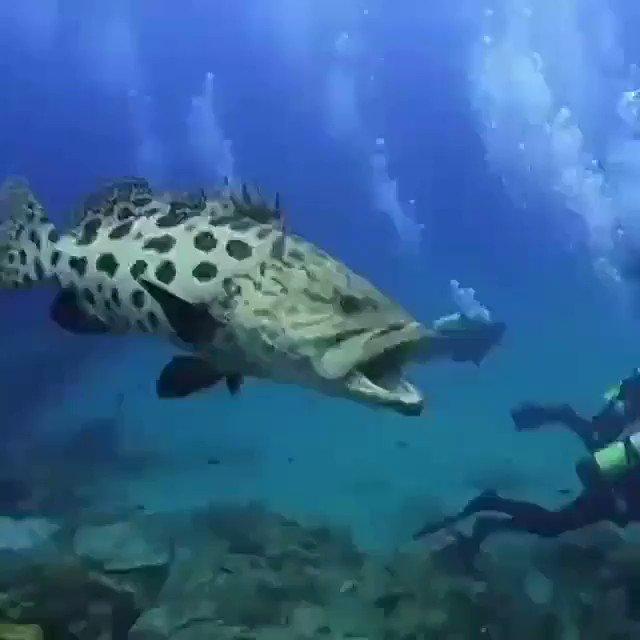 たぶんですが、ハタ系では世界最大のバケモノでしょ⁉️😱😱😱😱😱😱🌊🌊🌊🌊これは釣り上げ不可能かも⁉️😱😱😱😱😱