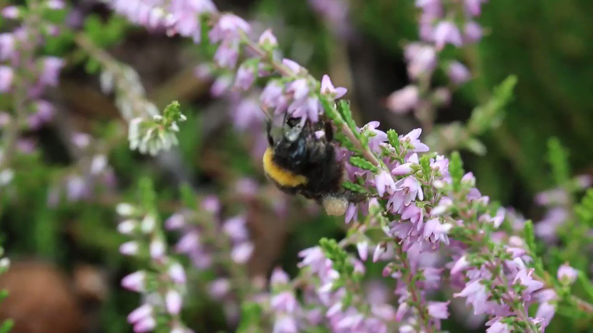 Plants have provided us with a source of natural medicine for millennia.   🐝💊But could they also medicate our wild bees...? Read more: https://t.co/q7VcPTJQEU