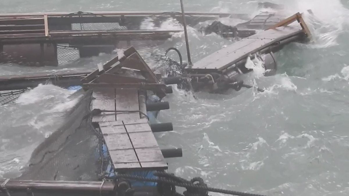 One Day before Typhoon Hagibis is predicted to hit Japan, @Dolphin_Project Cove Monitors shot this video of the dolphins in Dolphin Base pens. #DontBuyATicket dolphin.fyi/DolphinPledge #DolphinProject