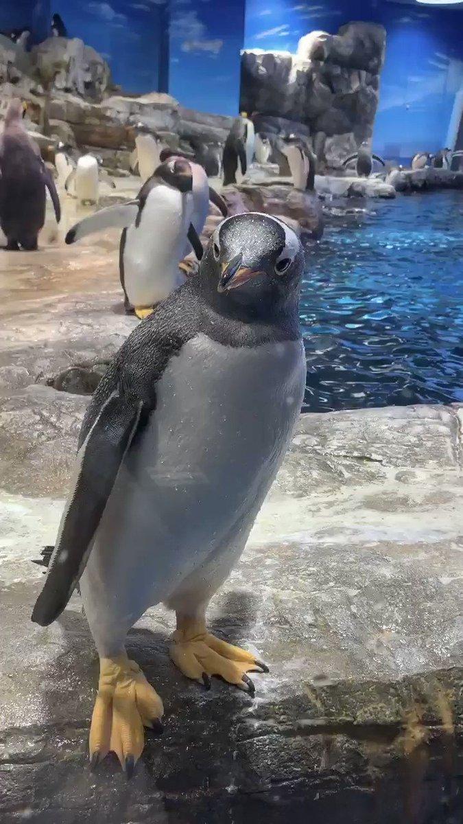ジェンツーペンギンさんの芸術的なドジっ子✨✨✨
