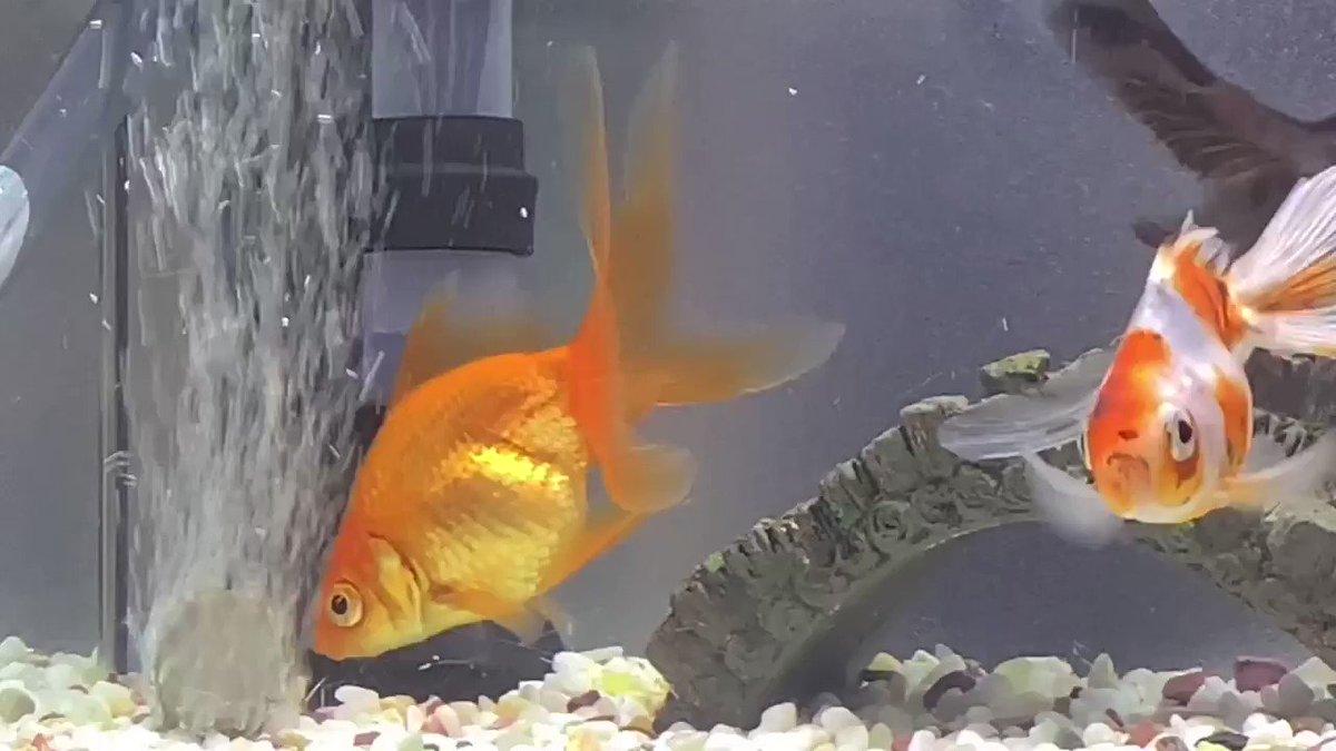 おはようございます 🙂台風で被害に遭われた方には、お見舞い申し上げます。幸い、ウチはたいした被害もなく無事でした。金魚たちも元気にしています。