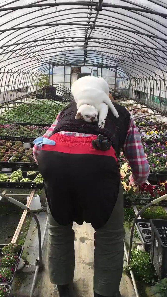 従業員の背中で荒ぶるキュートな猫農場長  @VCnKKcafoHgtS3Lさんから