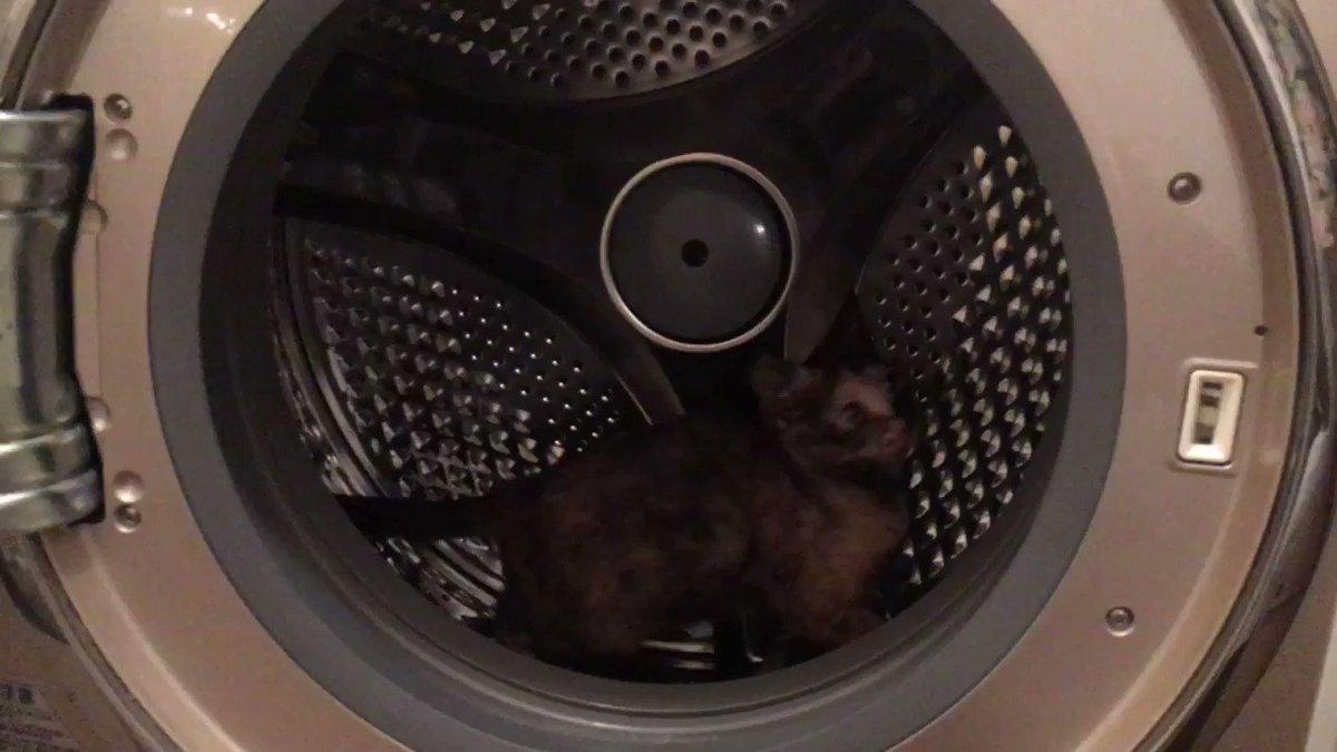 おはようございます。☀️ 意識高い系女子のまつりちゃんは、今日もエクササイズに夢中です。あの、そこは洗濯機なんですが…😅 #猫 #ねこ #ネコ #子猫 #子ネコ #保護猫 #ねこ部 #猫動画 #cat